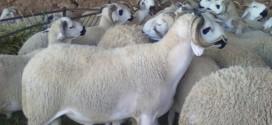 افتتاح المعرض الدولي لتنمية تربية الماشية اليوم في دورته الثانية بجهة تادلة أزيلال