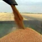 wheat-20031-300x215