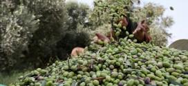 """الأمطار و""""المغرب الأخضر"""" يُدران محصولا قياسيا من إنتاج الزيتون"""