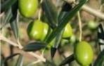 إنتاج الزيتون تجاوز 50 ألف طن بجهة درعة-تافيلالت في سنة 2016