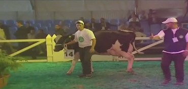 ملكة جمال الأبقار بتارودانت