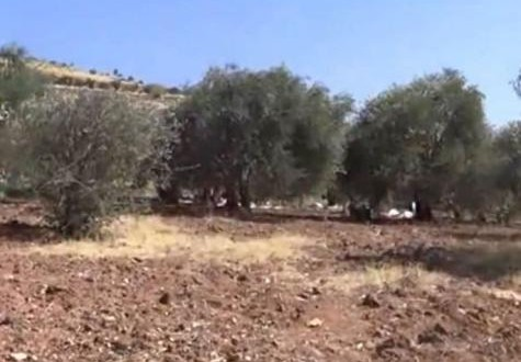 قطف الزيتون بسوريا.. مواجهة مع الموت