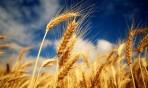 المغرب يشتري 9 آلاف طن من القمح اللين الأمريكي