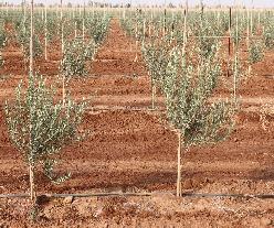إنتاج أزيد من 44 ألف طن من الزيتون بإقليم صفرو خلال الموسم الفلاحي الحالي