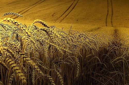 مصر: أبوحديد: نكرس جهودنا لتحقيق انتاجية عالية من القمح الموسم الحالى