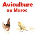 Aviculture au Maroc