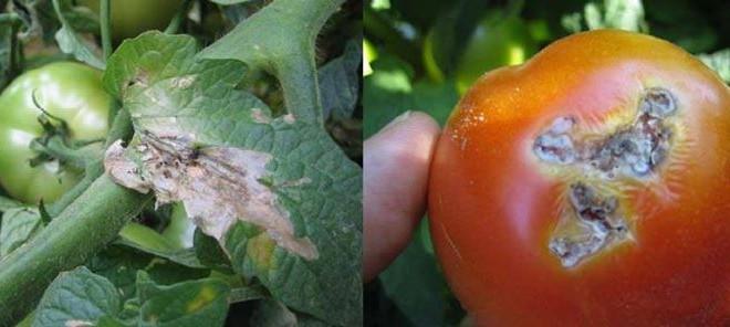 مرض التقرح البكتيري للطماطم
