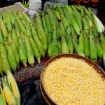 تشجيع إنتاج الذرة البلدية