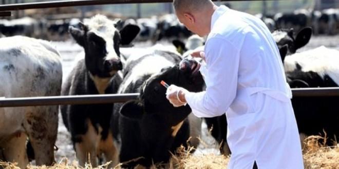 """""""أونسا"""" يعلن تلقيح مليون رأس من الأبقار ضد مرض الحمى القلاعية"""